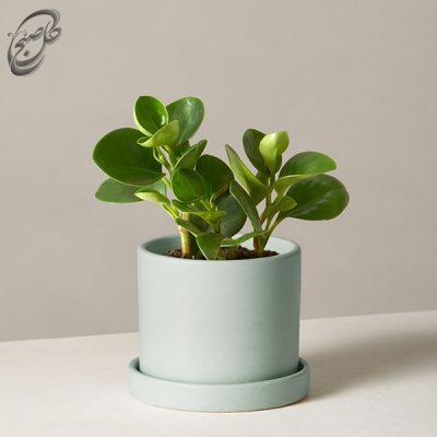 خرید گل قاشقی -پپرومیا سبز طرح 012