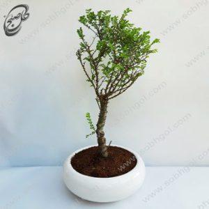 خرید گل آنلاین – بونسای نارون اکایدو  طرح B-021 ( ارسال گل رایگان )