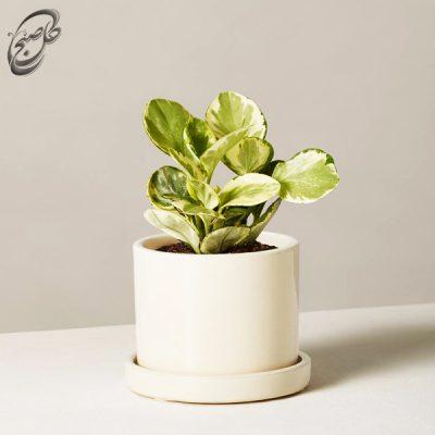 خرید گل قاشقی -پپرومیا ابلق طرح 011